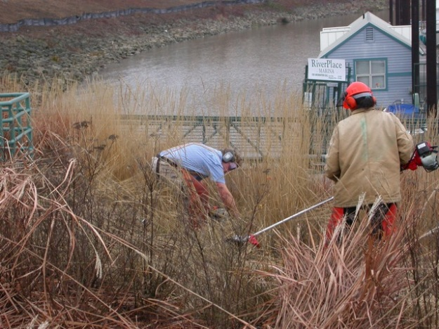 In this photo of a crew cutting down the 1 acre of ornamental grasses at South Waterfront Park you can see the difference in body position. In the foreground, using an articulated shear in an upright position vs. using the traditional style hand held gas shear while squatting and reaching.