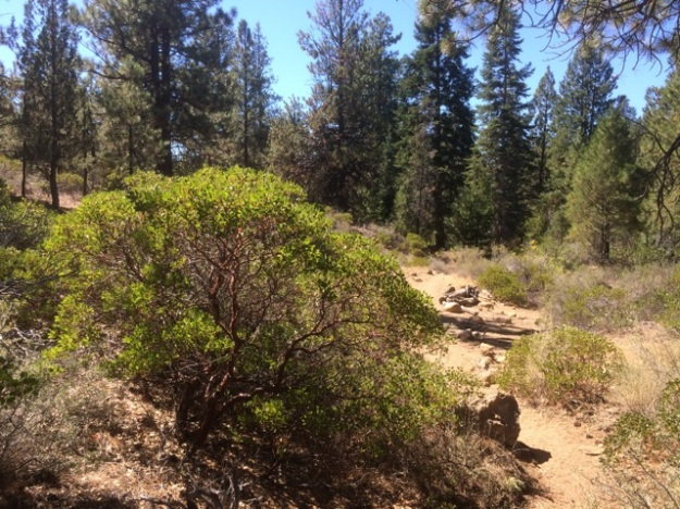 Arctostaphylos patula growing on site near Whychus Creek south of Sisters, OR.  Here it is 5' tall growing in a mixed condifer forest along with Doug Fir, Grand Fir, Noble Fir, Ponderosa Pine and Western Juniper.