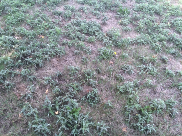 One of the mown 'lawns' dominated by Canada Thistle and Cat's Ear
