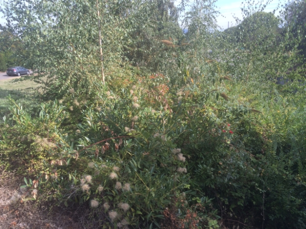 A hodge podge of weeds and volunteers totally overwhelming the Roses