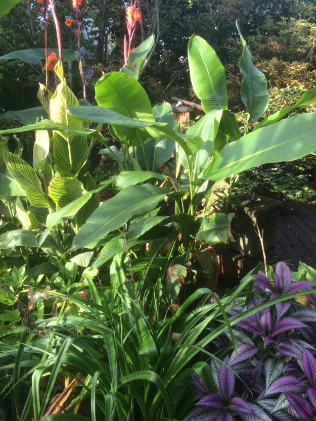 Those big paddle leaves are Heleconia schiediana. The purple is Strobilanthes dyerianus next to a strappy Crinum powellii 'Alba' backed up with Canna 'Bengal Tiger'