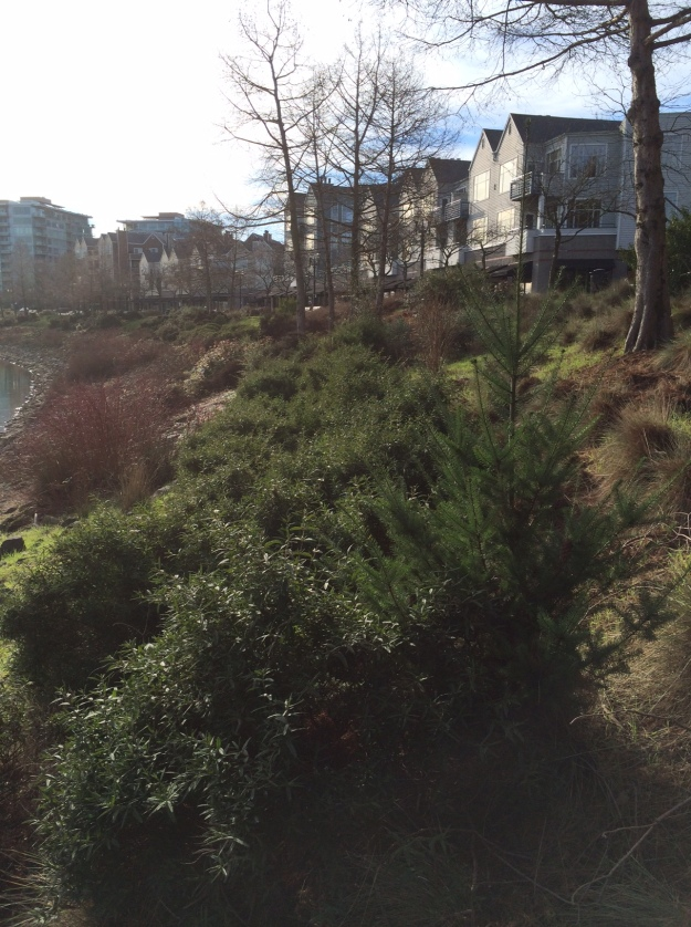 A volunteer Doug Fir (hmmm) growing with a very happy sweep of Cistus platysepalus, Taxodium distichum marching along the bank and Redtwig Dogwood in the rip-rap.