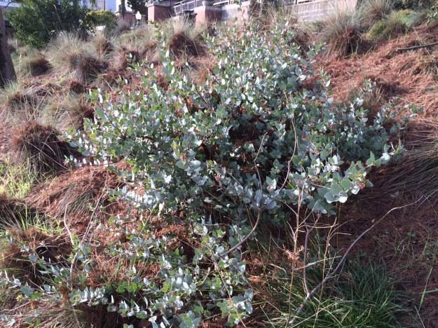 Another A.p. 'Warren Roberts amidst Taxodium detritus, Blue Oat Grass and volunteer Carex tumulicola