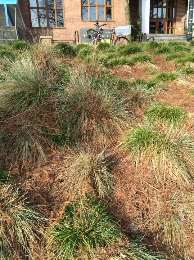 The planting of Carex tumulicola was done around '06 when a previous planting failed. Now you can see it moving down and across slope into the Blue Oat Grass by seed.