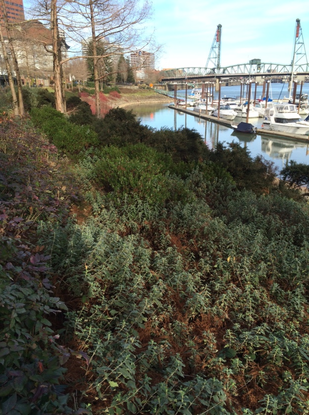 At the left Mahonia aquifolium 'Compacta', then Cistus 'Silver Pink' in the foreground (original to the '04 planting) which has struggled (?), a line of med. green is Arctostaphylos densiflorus 'Howard McMinn' backed down slope by Ceanothus impressus 'Vandenburg' much finer and darker.  This last is most intact of all the clumps on the bank.