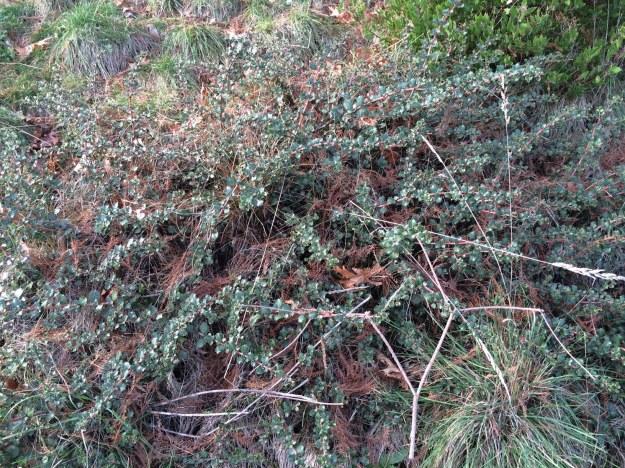 Ceanothus gloriosus 'Emily Brown' with the bunch grass Kohleria macrantha, Arctostaphylos densiflorus 'Howard McMinn at the top edge all sprinkled with Taxodium leaf debris.