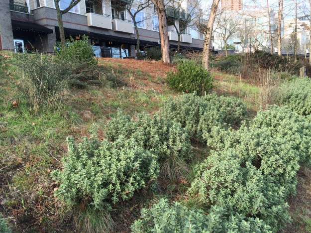 The second grassy bay, below the Harborside Restaurant, between the Taxodium clumps from the south end. A sweep of Cistus pulverulentus 'Sunset' at the bottom, Ceanothus cuneatus 'Blue Sierra' at the left and two Arctostaphylos x 'Harmony'.  The grasses are Kohleria macrantha, native, Festuca rubra commutatta and a few nasty invaders.