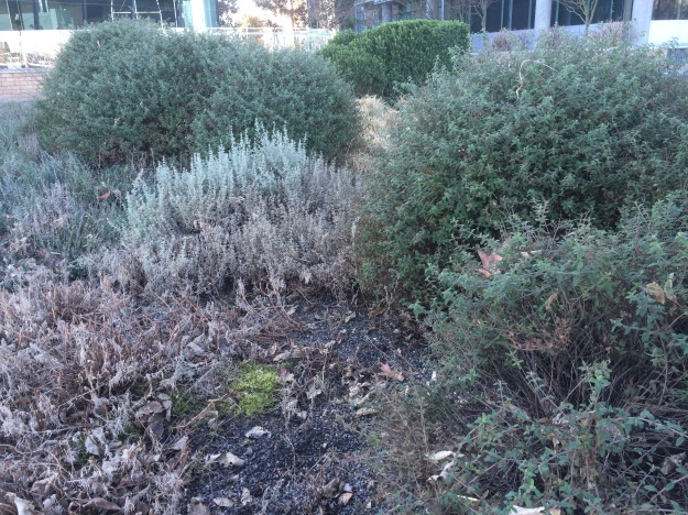 The rounded mounds are Cistus obtusifolius with their tight habit. No shearing necessary. The lower gray plant is Halimium ocymoides and the 'sticky' looking space in the foreground will fill in this spring with the resurging Zauschneria 'Silver Select'
