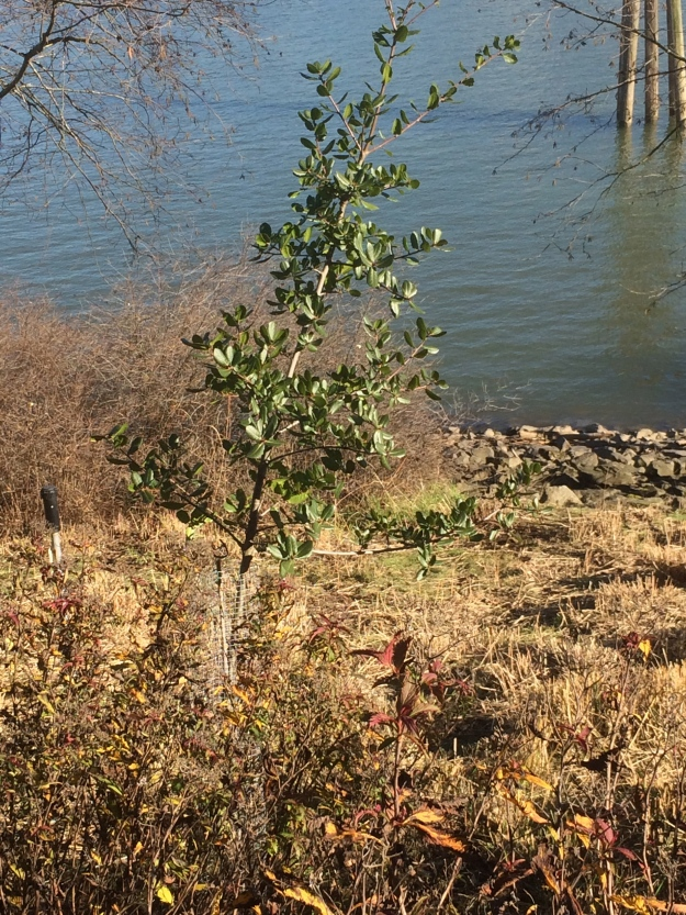 One of the newer Quercus wisleznii I planted here at South Waterfront. Looking good.