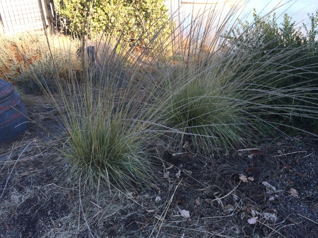 Muhlenbergia ringens a very sturdy drought tolerant bunch grass used in South Waterfront and at 5 Flags. A better performer than M. lindheimeri here