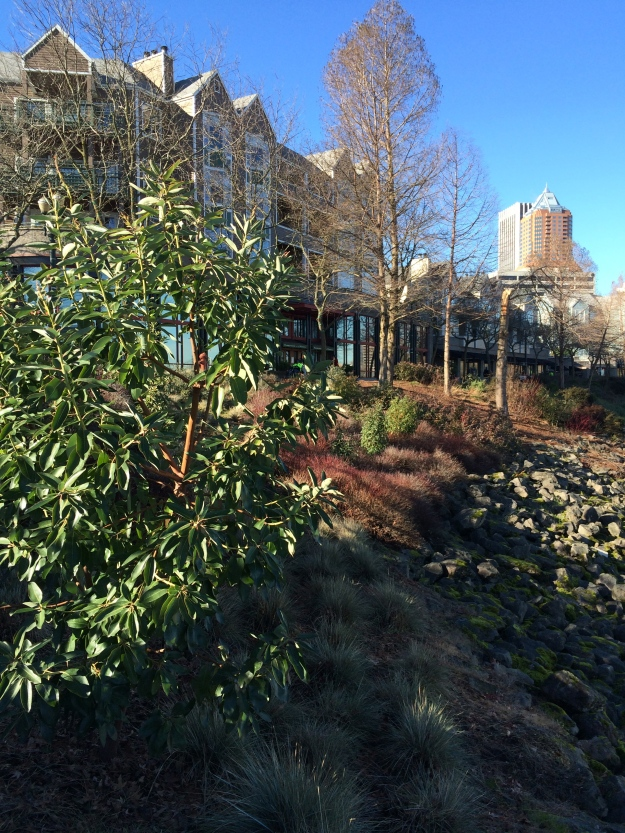 Another Arbutus menziesii in the winter sun. Helictotrichon sempervirens, used extensively here in the earlier planting, lies beside it to the right. Younger Cistus 'Blanche' stand upright in the background as does the Bald Cypress that lost its crown in an earlier storm