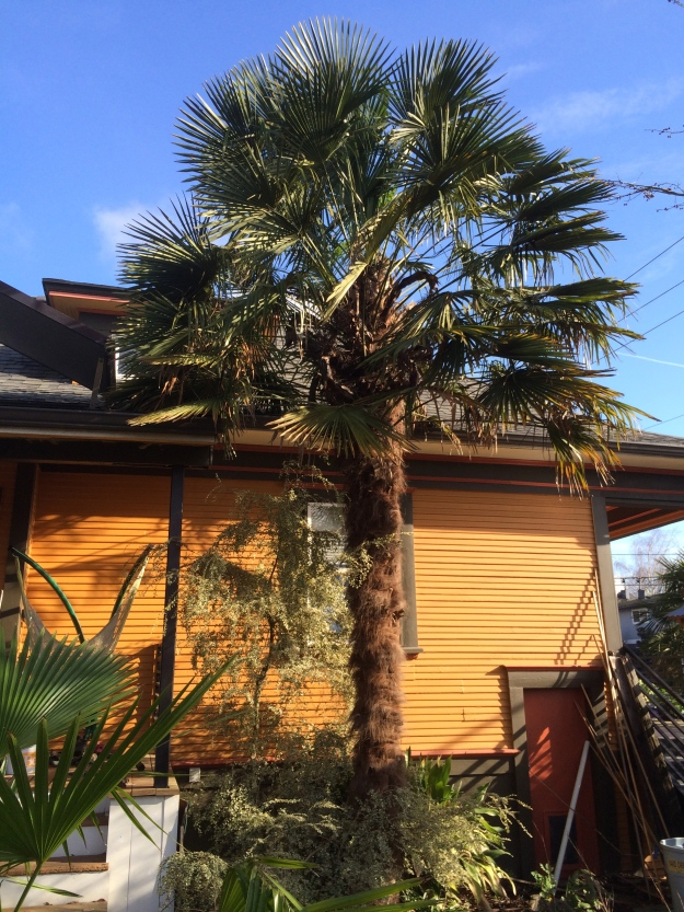 Trachycarpus fortunei - My oldest tree.  The house's gutter is at 13'.  This is the most robust, stoutest, of the 5 T.f. that I have with the broadest canopy.  It's male.  I've just finished cleaning up its rattiest older fronds.
