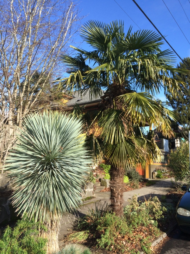 Trachycarpus fortunei - There are two more males on the street.  They were purchased at two different times but look and perform very similarly with a nicely shaped crown.  For the curious, I  planted 5gal plants. My strip is 4 1/2' wide. The mature canopy is 10' wide. The fronds are stiff enough that they can take quite a bit of abuse. For several years they 'pushed' pedestrians out of their paths and sometimes people would break or cut!!! the worst offenders off. No one turned me into the City's nuisance office. Thank you!  They would have given me 30 days to comply with the 7' head clearance rule or sent in a contractor, billed and fined me. Still, it didn't happen and they look great.  And, yes, that is Yucca rostrata 'Blue Sapphire' in the foreground, planted at the same time, like so many of my plants, over ten years ago.