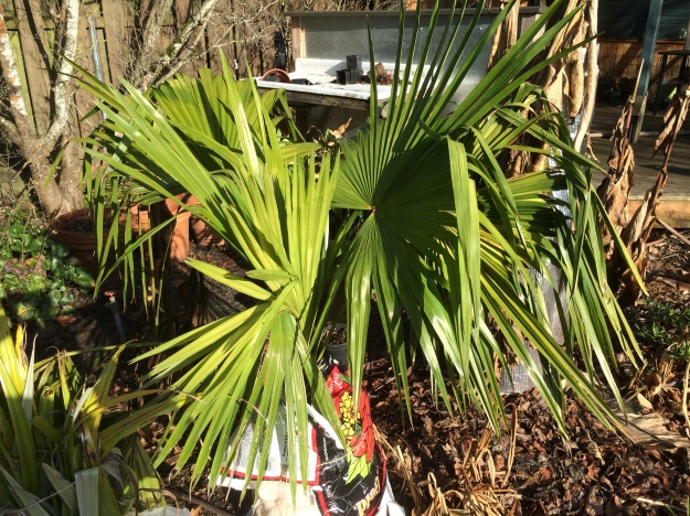 Trachycarpus latisectus - This palm too is less hardy than the fortunei and wagnerianus.  I just planted it this fall from a 20 gal pot.  Its base is protected with fiberglass insulation and plastic to keep it drier this winter.  Considered experimental, 20F or so.