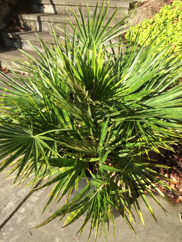 Chamaerops humilis - This Mediterranean Fan Palm probably has a virus which gives it a very distinctive 'tie-diyed' effect to its fronds. I've never planted it out. I lost its parent plant 8 years or so ago messing around, dividing off 'pups' before I tried the mother plant in the ground, so I don't want to screw it up and wait another 8. This was the only pup with enough roots to survive. All of the other plants, mom included, died after the procedure...I'm not a propagator. These are slow. Got the original plant from Sean Hogan.