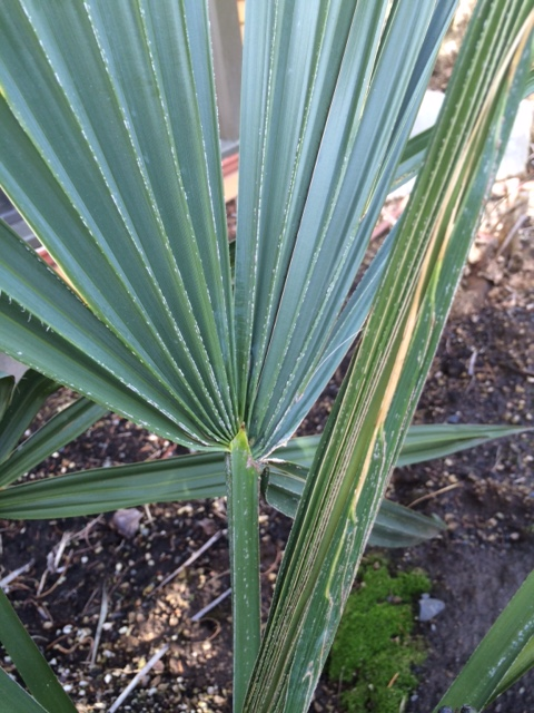 The costapalmate leaf of Sabal minor.  The difference isn't obvious on S. minor. You can also see a compressed unexpanded spear.