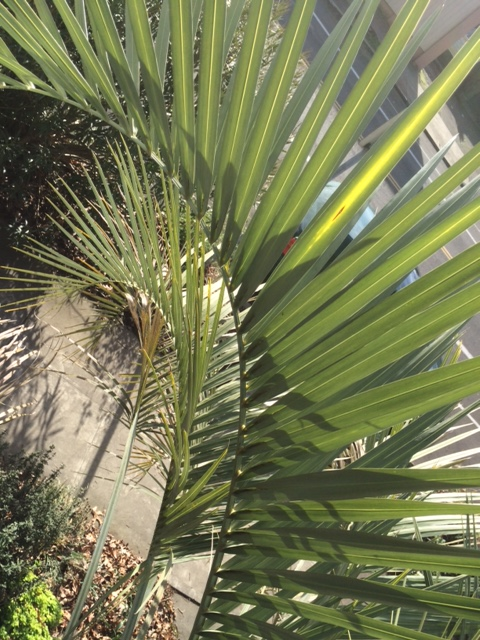 The pinnate leaf of Butia capitata.  The rachis arching to the tip with leaflets alternating and nearly upright.