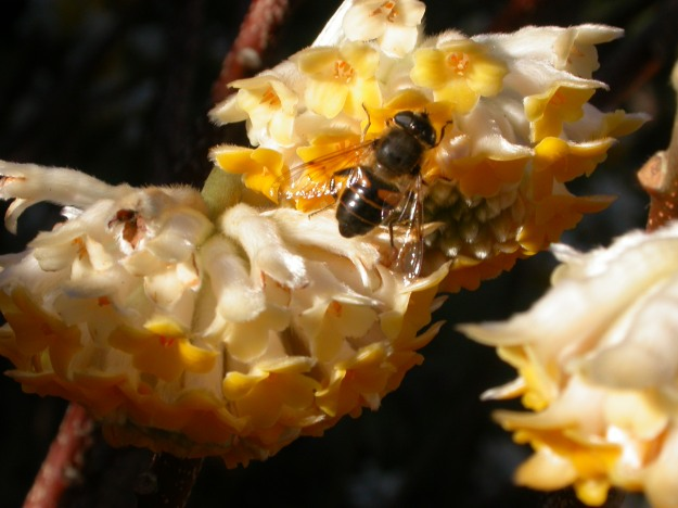 A bee visiting the flowers of an Edgewortia chrysantha in Washington Park.