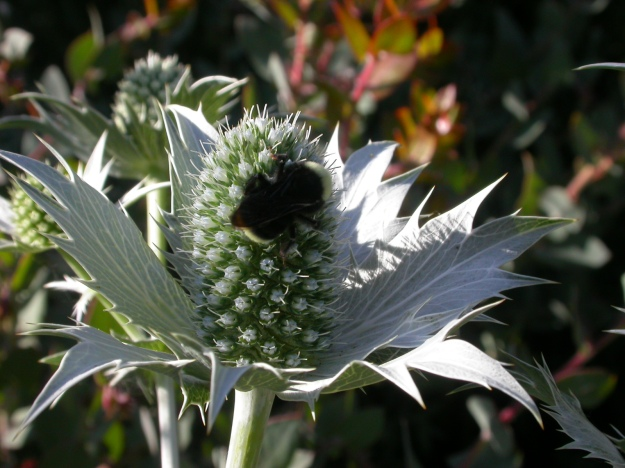 A Bumble Bee, another pollinator, visiting the inflorescence of an ornamental Sea Holly.