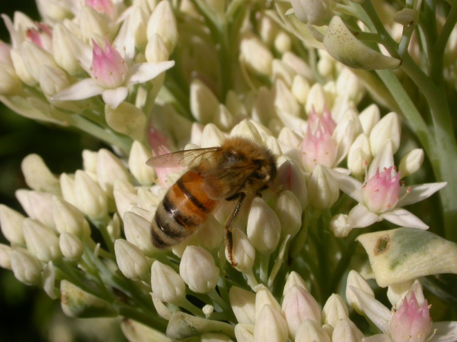 A bee working the large inflorescence of a Heptacodium miconoides.
