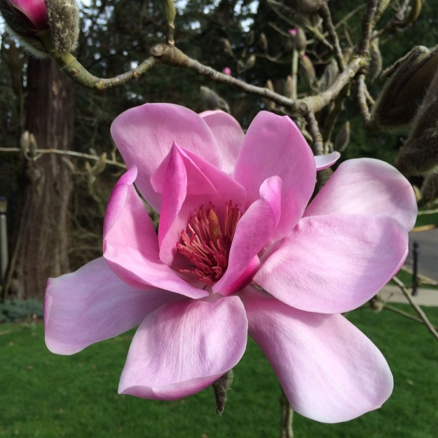 Can't beat this flower, the first bloom on Magnolia J.C. Williams Feb. 20.