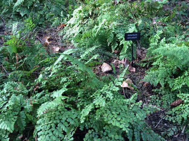 A good sized patch of Adiantum venustum, the evergreen Himalyan Maidenhair Fern.