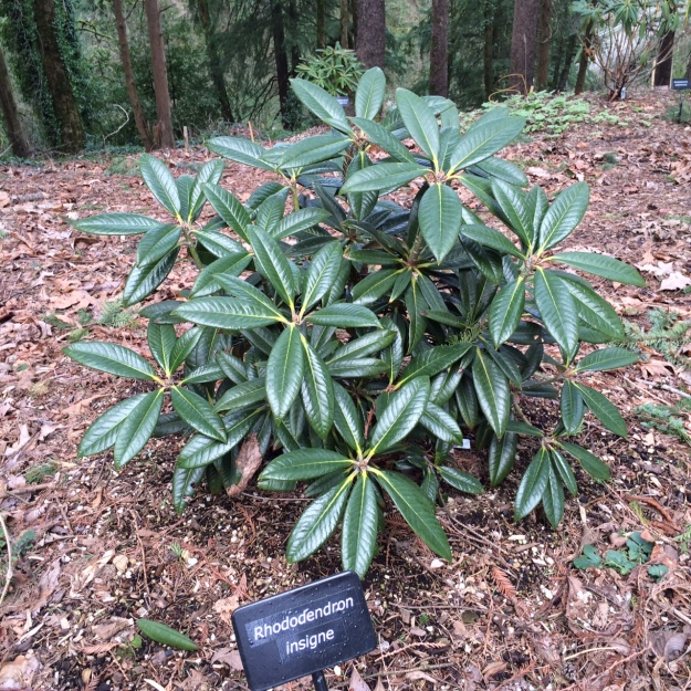 Rhododendron insigne.  I like the incised venation and recurved margins on this one.  We'll have to watch to see if this one lives up to its species name meaning 'great' or 'distinguished'