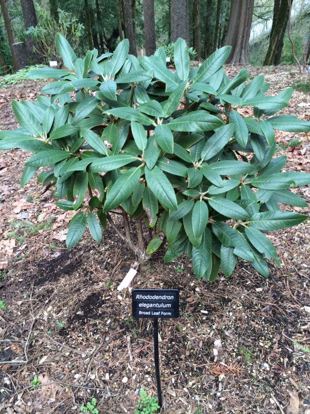 A large leaf form of Rhododendron elegantulum its foliage living up to its name.