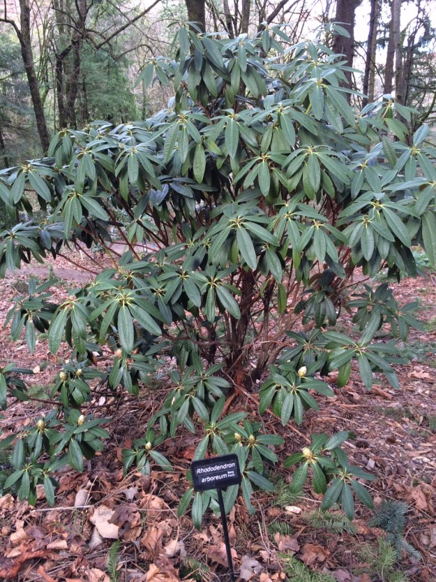 Another form of R. arboreum this time selected by Warren Berg from Washington.  In its native habitat these can grow to be over 90' tall