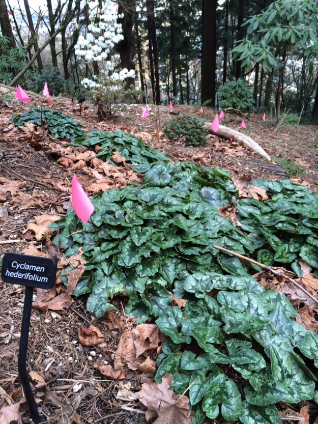 Cyclamen hederifolium in a nice sized sweep near the meeting of the upper path and stairs.