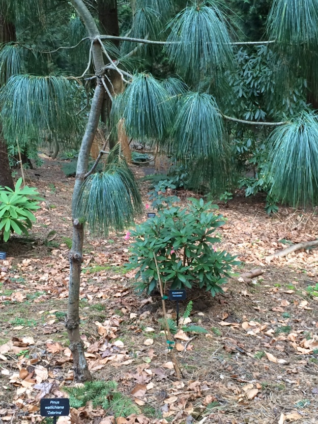 Pinus wallachiana 'Zebrina' planted in a 'hole' in the high Doug Fir canopy.