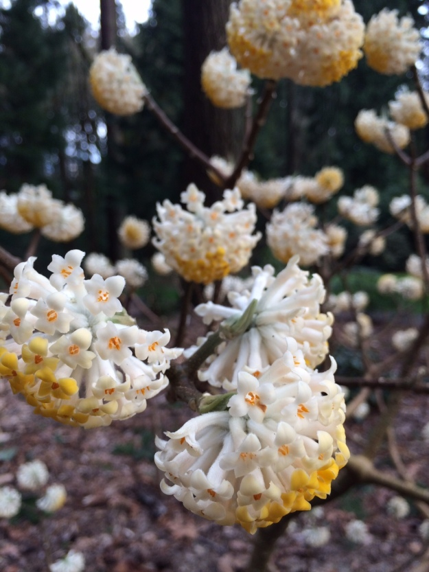 Edgeworthia chrysantha in fabulous bloom!