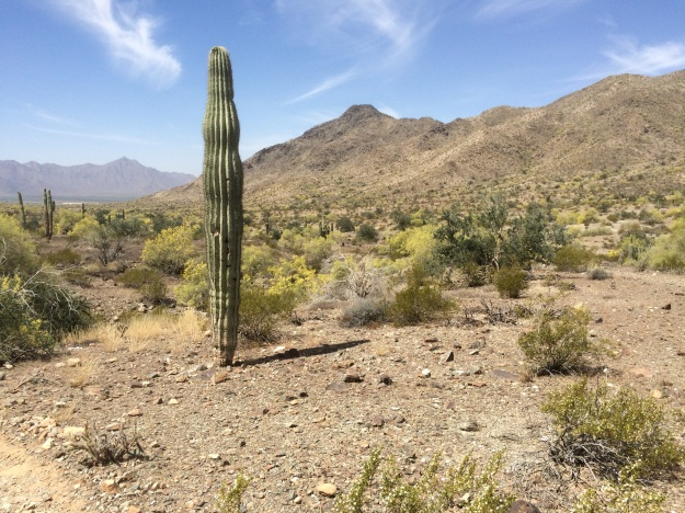 A Saguaro along the Bajada Trail looking toward the Estrella Mountains in the distance to the west and Ma Ha Tauk Ridge above me to the right.