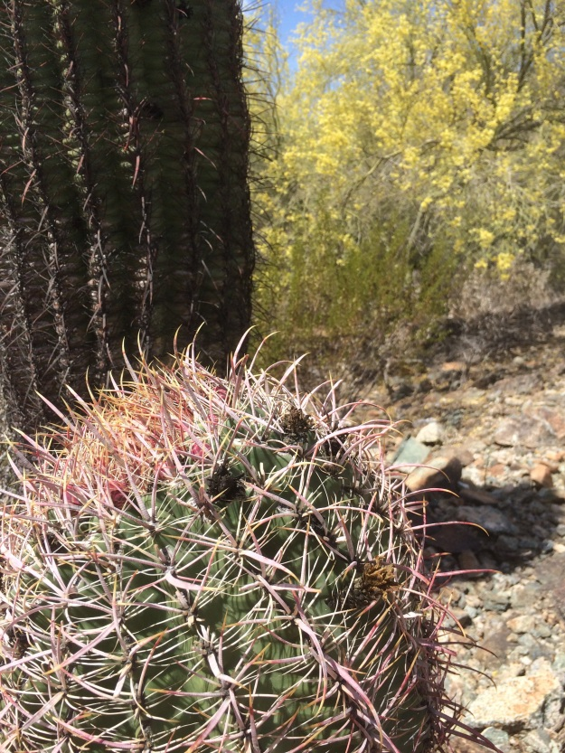 These Fish Hook Barrel, Ferrocactus wislizenii, Cactus occur all along the trails, as these are relatively low mountains.