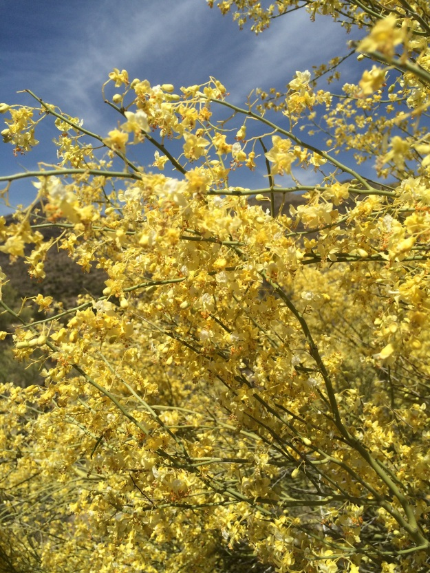 Masses of Palo Verde blooms.