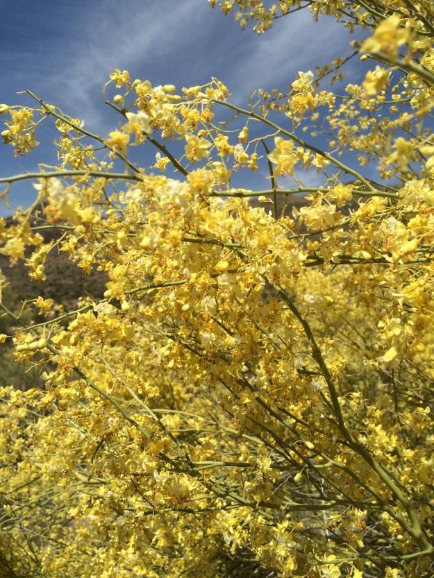 Masses of Palo Verde blooms.