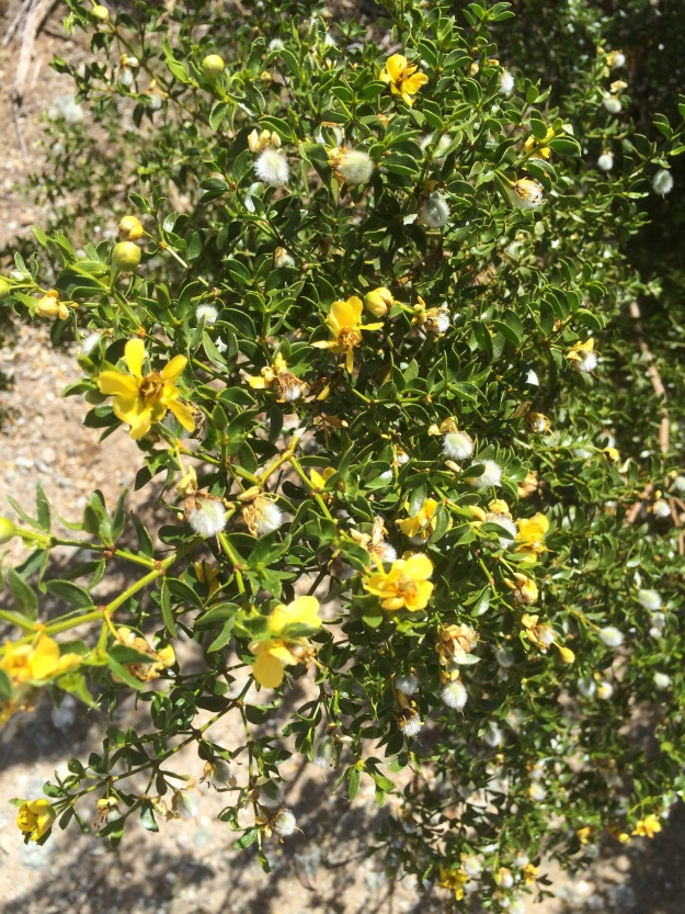 The ubiquitous Creosote Bush, Larrea tridentata.  This is a very small one but shows foliage, its bright yellow Asteraceae flowers and downy seed heads.  After a rain, I wouldn't know, it is said to emit a creosote scent.