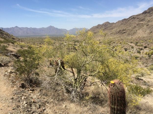 Fishhook Barrel Cactus along the Bajada with  Palo Verde, Parkinsonia sp.