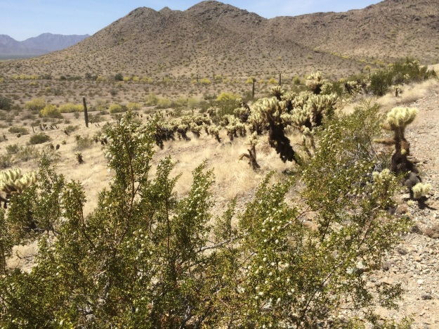 Approaching San Juan Lookout.  This area is dominated by Teddy Bear Cholla and Creosote Bush.