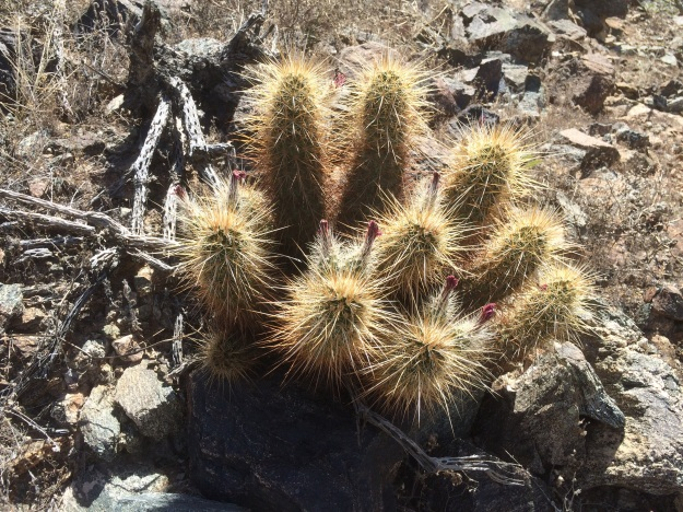 Echinocereus sp., with a dead and dried Cholla 'skeleton' next to it.