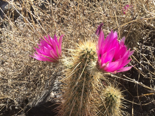 Echinocereus sp. on the Alta Trail.  What's not to love?