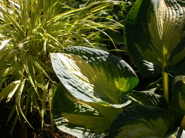 Hakonechloa macra 'Aureola' with Hosta 'Great Expectations' two dependable plants that fit well into my back 'tropical' garden.