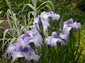 Iris ensata 'Cascade Crest' w/ Arundo donax 'Variegat' and friends