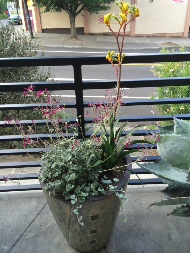Pelargonium and Anigoanthos sharing porch space with an Agave colorata