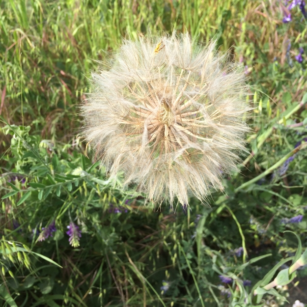 The giant sized 'Dandelion' type seed head of Oyster Plant