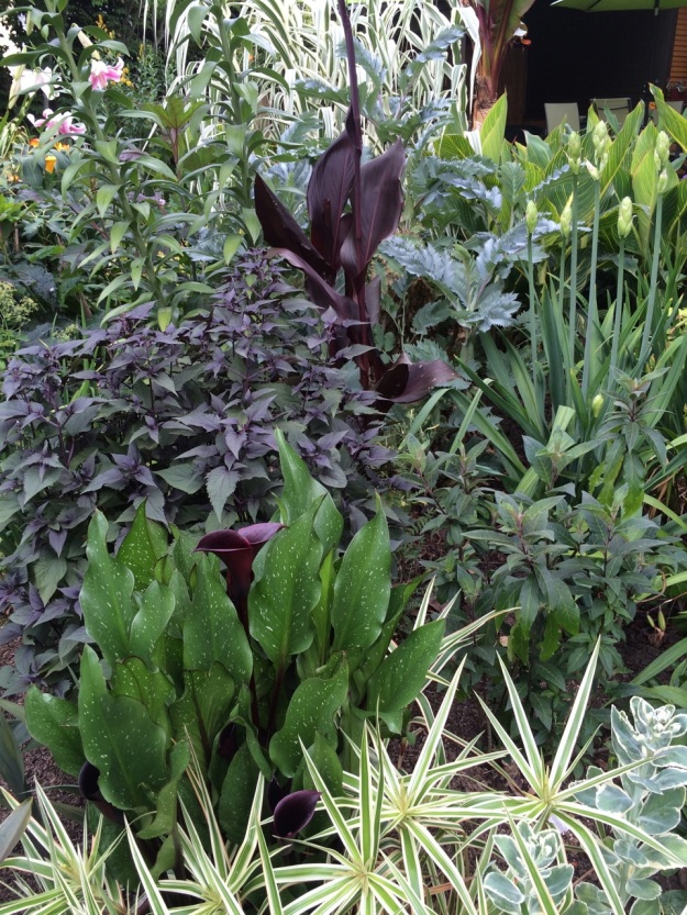 A little light sucking purple vignette with Canna 'Australia', Eupatorium 'Chocolate', and Calla 'Edge of Night'