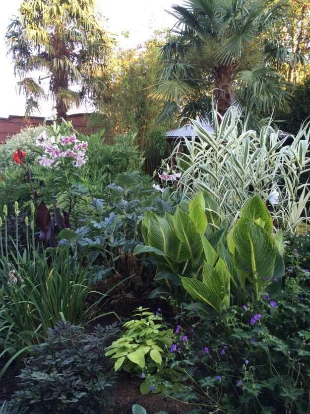 Another view across the garden featuring Canna Bengal Tiger, Arundo donax 'Variegata' and a tough but forgotten Lily looking much like a giant Stargazer.