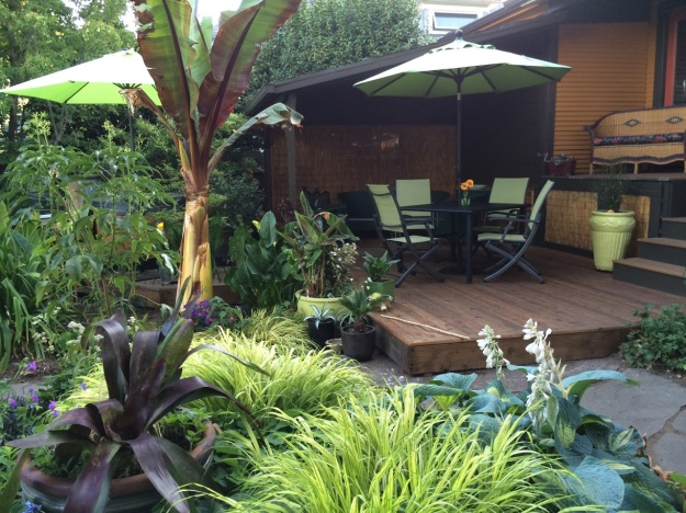 Our refurbished cedar deck, finished a month ago with our 'resident' Ensete.  Hakonechloa macra Aureola is one of the several grass like plants I use repeatedly with yellow or chartreuse color.