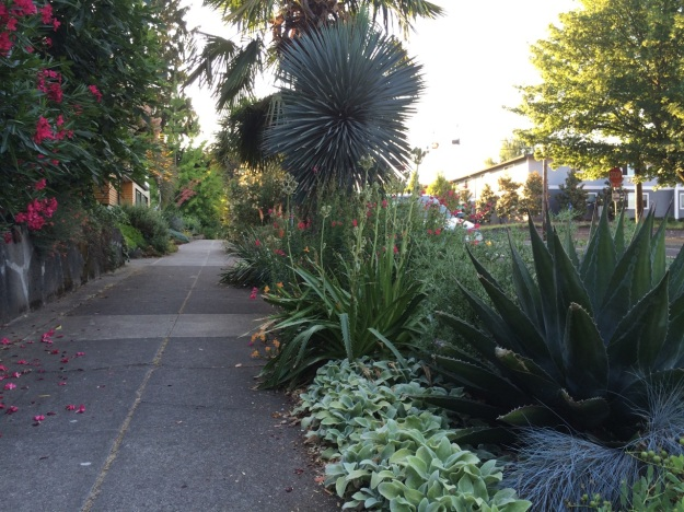 Looking east up the sidewalk along my dry borders.  The beautiful green agave is A. montana, or so it was lableled, and is 15(?) years old, the best and cleanest performer I have.