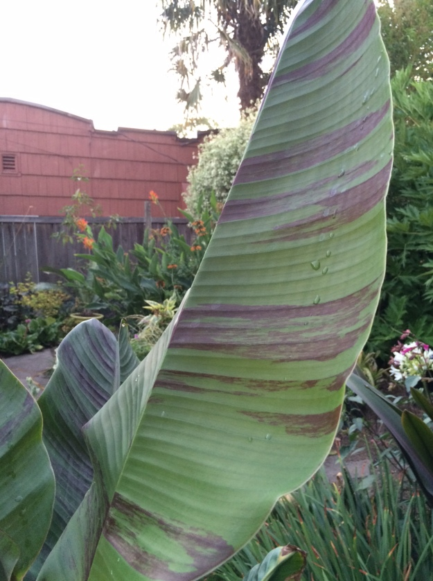 Musa sikkimense showing the red variegation between veins.